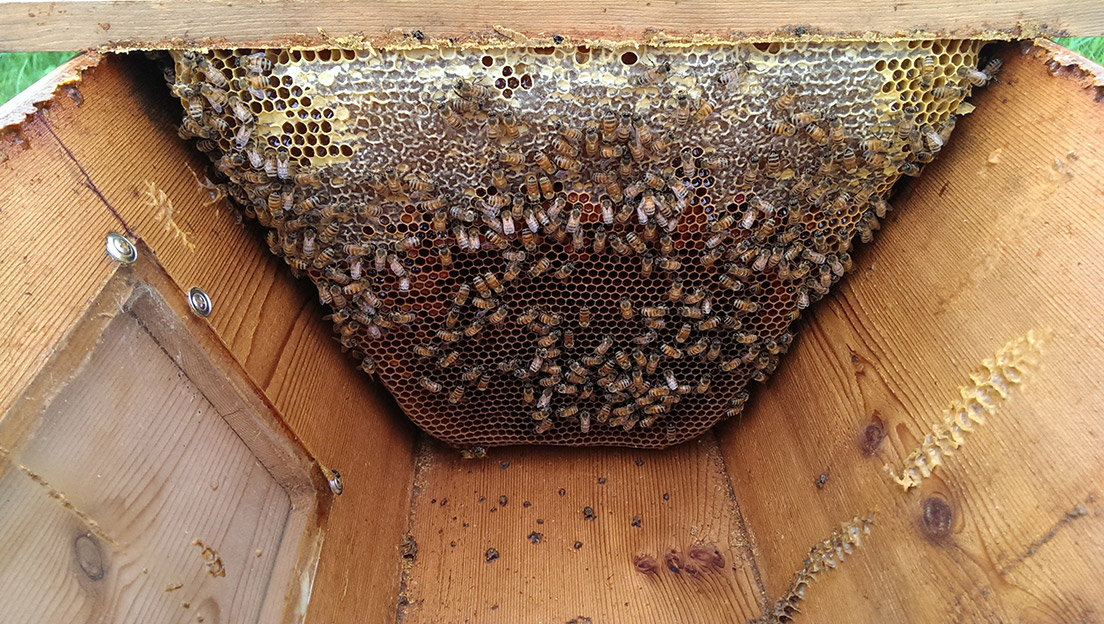 Photo of Honey Bee Brood Comb with Pollen Attached to a Top-bar